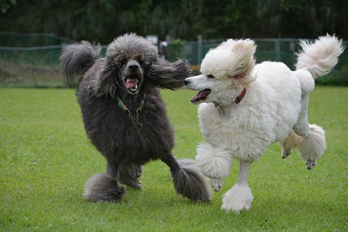 チャラ男犬・勇気(左)としっかりもののビクトリア