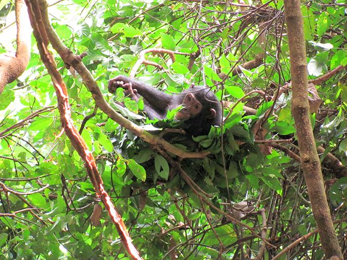 チンパンジーのベッド