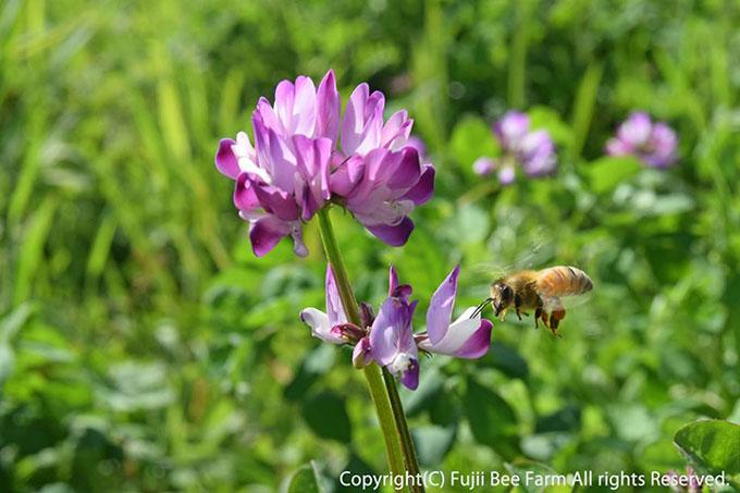 レンゲ畑を飛ぶミツバチ