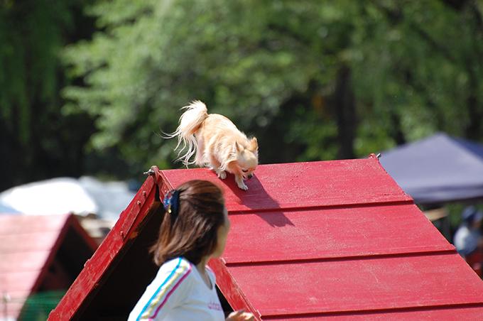チワワ アジリティー 愛犬