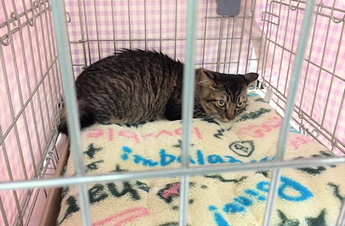 ペット 同行 避難訓練 ケージ 練習 愛猫 猫 ねこ ネコ