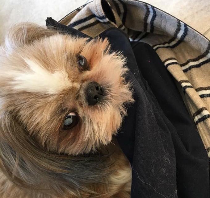 シー・ズー 白内障 若年性 スリング 同伴出勤 愛犬 犬 イヌ いぬ ドッグ