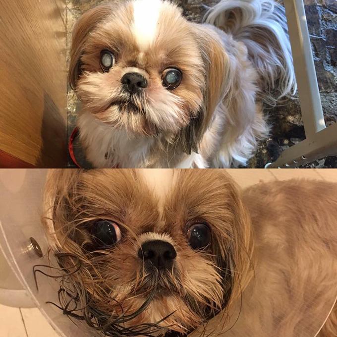 シー・ズー 白内障 若年性 手術前 手術後 愛犬 犬 イヌ いぬ ドッグ