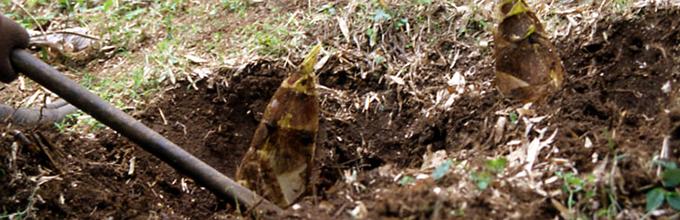 竹の子 掘り グリーンツーリズム