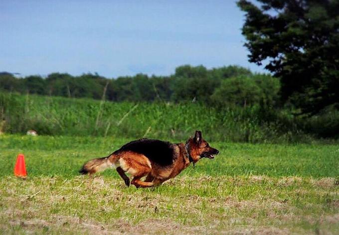 訓練所 時代 シェパード 犬 いぬ イヌ 愛犬