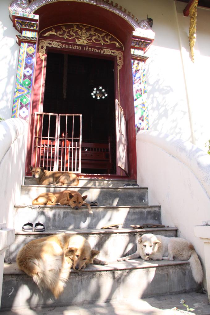 タイ 犬 いぬ イヌ 愛犬 昼寝