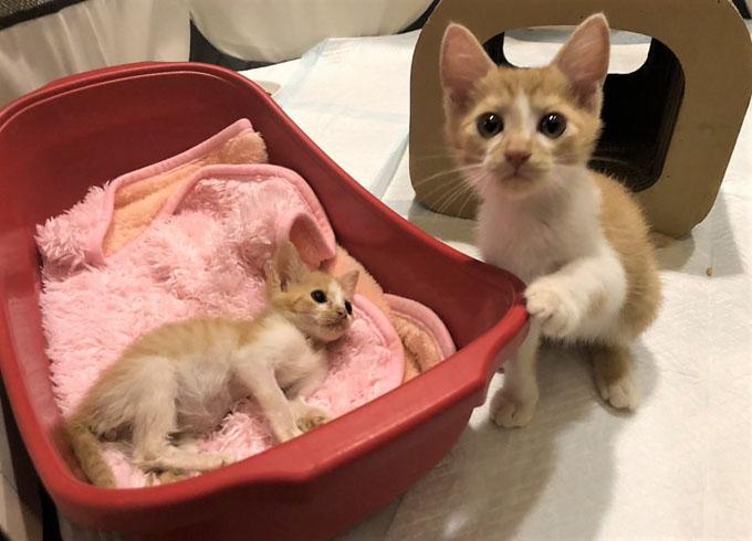 門脈シャント ネコ ねこ 猫 子猫 子ねこ 仔猫 子ネコ ミルクボランティア